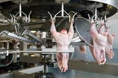 image of slaughterhouse  - Continuous conveyor of meat of chickens - JPG