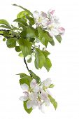 foto of cherry-blossom  - Spring Apple Blossom over white - JPG