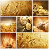 Wheat.Harvest Konzepte.Getreide-collage