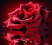 Perfect Rose with water reflection