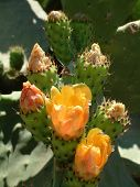 Bunch Of New Prickly Pears