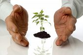 image of nurture  - business men holding a plant between hands on white - JPG