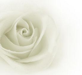 image of rose flower  - Beautiful Sepia Rose - JPG