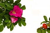 picture of wild-brier  - wild roses frame isolated on wnite background - JPG