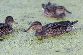stock photo of gadwall  - Gadwall brood of floats on the water with green duckweed and feeds - JPG