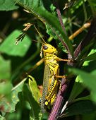 Spur-Throated Grasshopper (Melanoplus ponderosus)