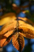 picture of ash-tree  - leaf of an ash tree in autumn - JPG