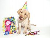 Lustige Geburtstag Lab Welpen