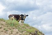 Young cow on a hill mooing