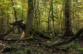 Old Hornbeam Tree Broken Lying