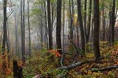 Beautiful Fall Woods With Fog At The Great Smoky Mountains poster