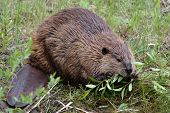 Beaver Eating Willows