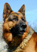 image of german shepherd  - beautiful portrait of a purebred german shepherd - JPG
