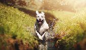 A Beautiful Young Energetic Labrador Retriever Dog Puppy Runs Joyful Through A River poster