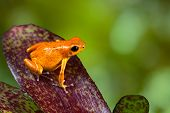 orange poison dart frog sitting on leaf with copy space. Exotic rainforest animal with bright vivid