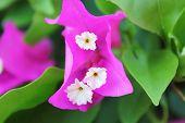 Bougainvillea-Blume