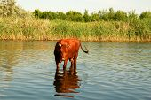 Cow In A River