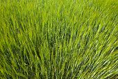 Green Spring Wheat