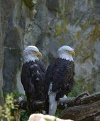 Resting Pair Of Bald Eagles On A Tree Perch. poster