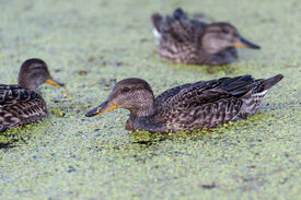 picture of gadwall  - Gadwall brood of floats on the water with green duckweed and feeds - JPG