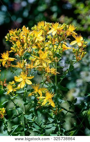 poster of St. John's Wort Plant With Blossoms
