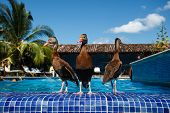 3 Ducks Wade At Resort Swimming Pool