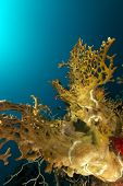 Fire coral  in the Red Sea.