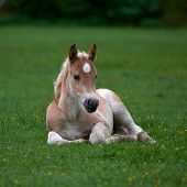 Young cute foal outdoor resting on mountain pasture in summer poster