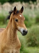 Welsh Foal Headshot