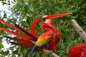 Scarlet Macaw Preening 2
