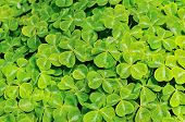 Oregon Wood Sorrel