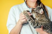 Beautiful And Domestic Cat On The Hands Of A Female Veterinarian On A Yellow Background. Concept Of  poster