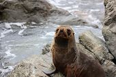 Fur Seal Chilling At The Pacific Ocean On The South Island Of New Zealand poster