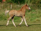 Welsh Foal Trotting