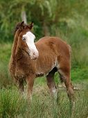 Pretty Welsh Foal