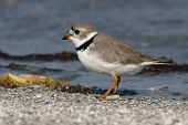 Piping Plover - Breeding Plumage