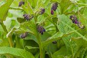 Purple Flowering Common Comfrey