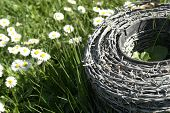 Barbwire And Daisy Flowers On A Meadow