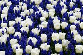 Tulips With Muscari