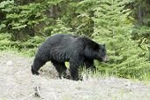 pic of bear cub  - Black bear on a stroll in Jasper National Park - JPG