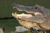 Head Of An American Alligator