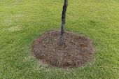 Natural Pine Tree Needles Hay Surround The Bottom Of Tree As Mulch To Retain Moisture. In A Green Gr poster