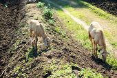 Couple of Indian sheep grazing in the fields