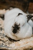 Californian Rabbit Eating Carrot. Rabbit Breeding. How To Breed Your Rabbit. poster