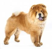 Chow chow  in front ofa white background poster