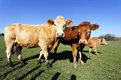 image of calf cow  - brown cows and calf in french country with blue sky - JPG