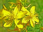 A St-John'S-Wort Is Ordinary (Hypericum Perforatum)