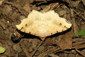 stock photo of inchworm  - Inchworm - JPG
