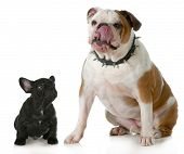 big and small dog - small french bulldog looking up to big english bulldog licking lips wearing spik
