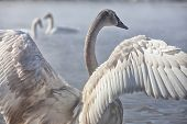 foto of trumpeter swan  - Trumpeter swan cygnet stretching his wings - JPG
